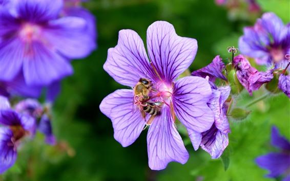 배경 화면 꿀벌, 꽃가루, 보라색 꽃