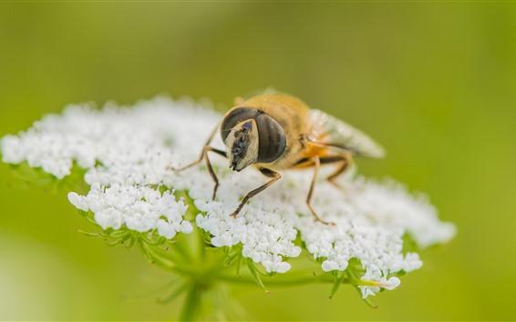 Papéis de Parede Abelha, pequenas flores brancas, insetos