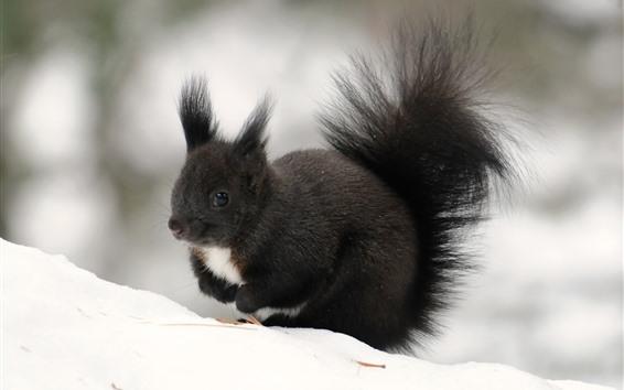 Papéis de Parede Esquilo preto, inverno, neve
