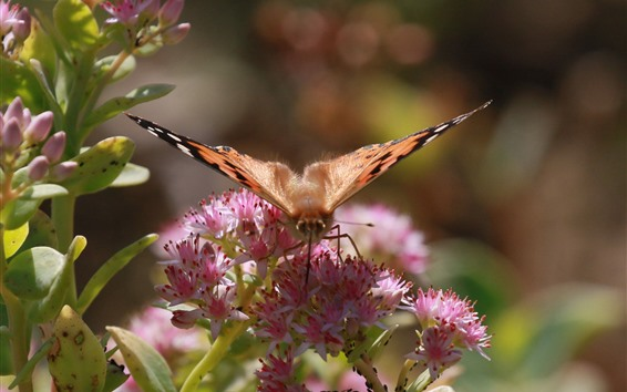 Wallpaper Butterfly, wings, insect, pink flowers