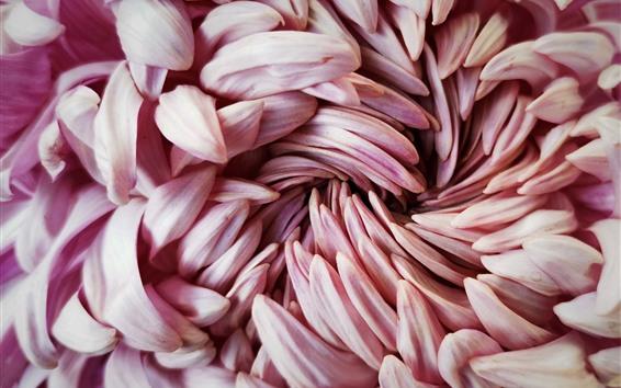 배경 화면 국화 핑크 꽃잎 매크로 사진