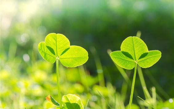 Обои Клевер, зеленые листья, солнце, природа