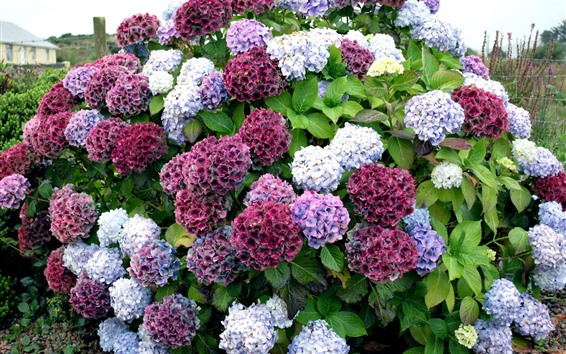 Wallpaper Colorful hydrangea flowers, countryside