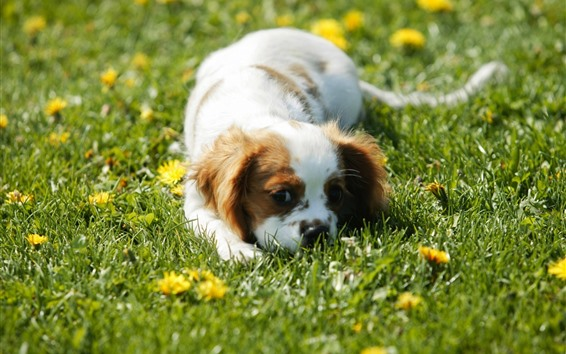Wallpaper Cute puppy sleep in grass, yellow flowers
