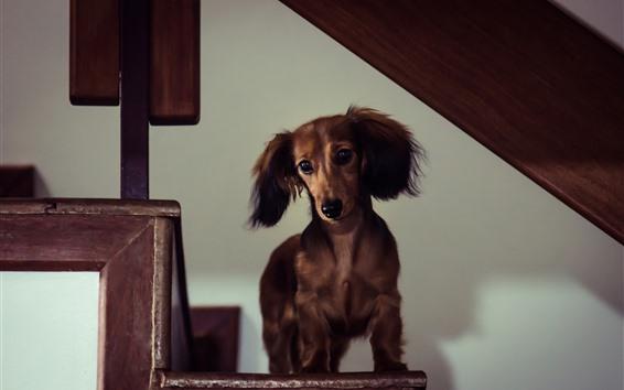 Papéis de Parede Cachorro bassê, filhote de cachorro marrom, olhar, escadas