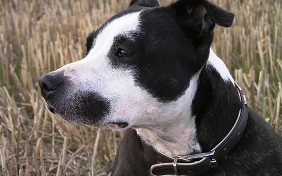 Обои Собака, морда, черно-белая