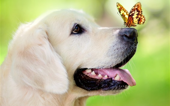 Papéis de Parede Cachorro, nariz, borboleta