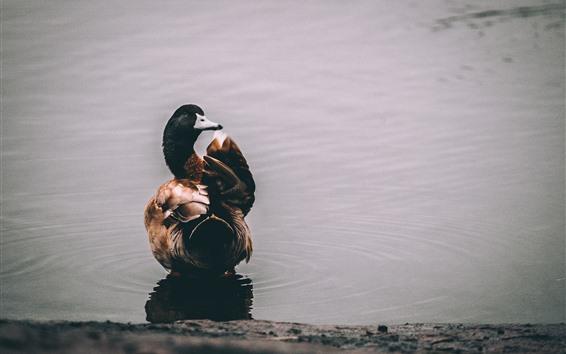 Papéis de Parede Pato, lagoa, vista traseira