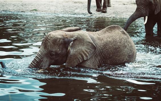 Papéis de Parede Bebê elefante na água