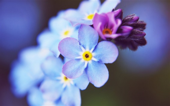 Wallpaper Forget-me-not, blue flower close-up, pink flower