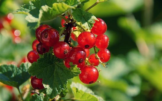 Fondos de pantalla Grosellas rojas frescas, bayas, hojas verdes
