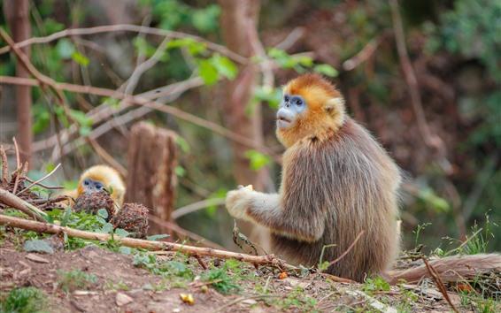 Papéis de Parede Macaco dourado olhar para trás, vida selvagem