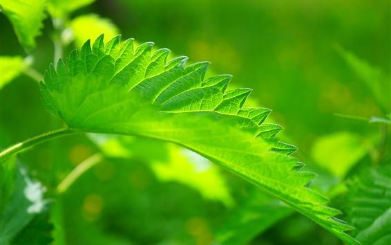Обои Макросъемка листьев зеленой крапивы