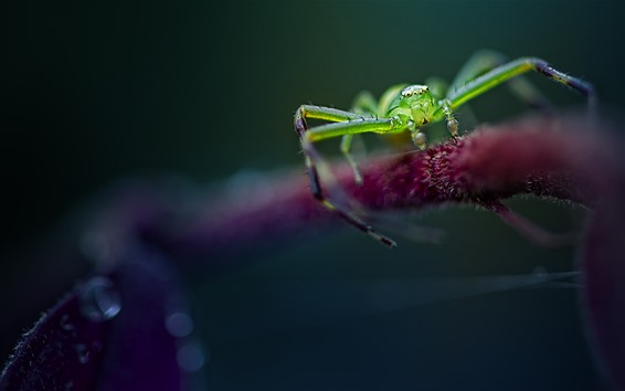 Wallpaper Green spider, insect close-up