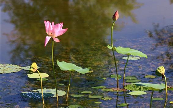 배경 화면 연꽃, 분홍색 꽃, 연못, 잎, 줄기