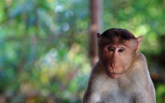Papéis de Parede Macaco olhar para você, rosto, fundo nebuloso