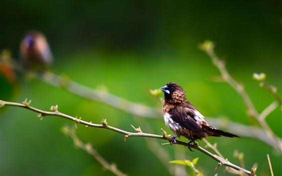 Papéis de Parede Um pássaro, pardal, galhos