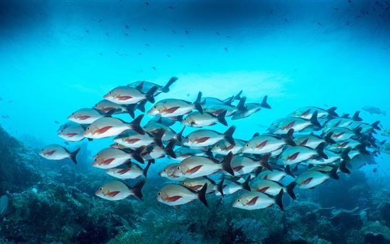 Fond d'écran Un troupeau de poissons, sous l'eau, mer