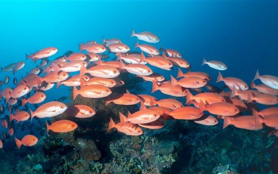 Papéis de Parede Um bando de peixe vermelho, debaixo d'água, mar