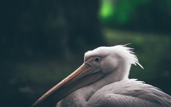 Wallpaper Pelican, long beak, bird close-up