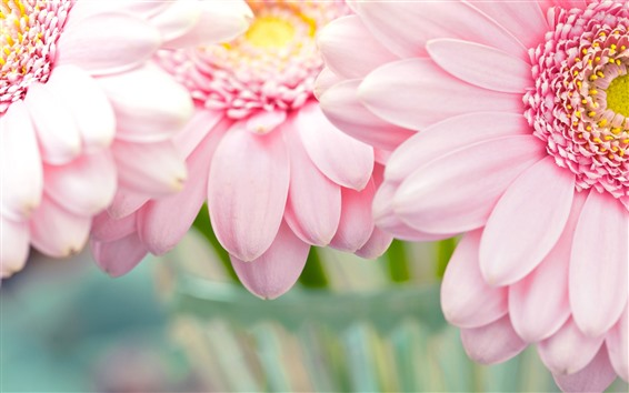 Wallpaper Pink chrysanthemum, petals close-up
