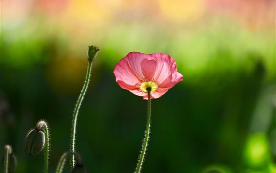 배경 화면 분홍색 양 귀 비 꽃, 녹색 배경, 봄