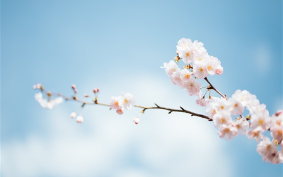 Обои Розовая сакура, цветы, веточки, небо, туманно