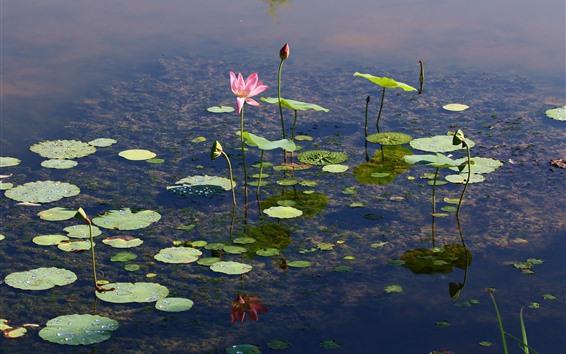 배경 화면 연못, 연꽃, 꽃, 맑은 물