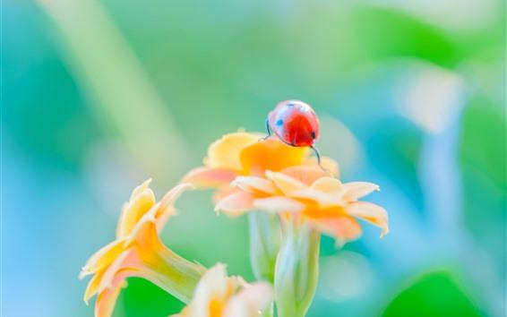 Papéis de Parede Joaninha vermelha, inseto, flores de laranja, nebuloso