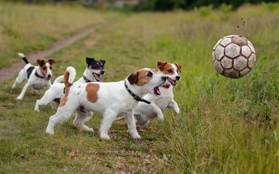 Wallpaper Some dogs play football