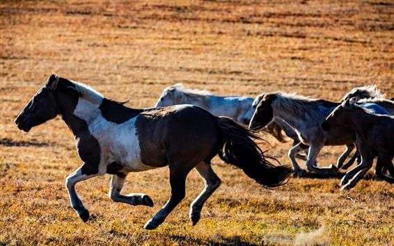 Обои Некоторые бегущие лошади, луга