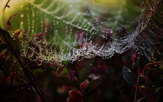 Wallpaper Spider web, water droplets, leaves