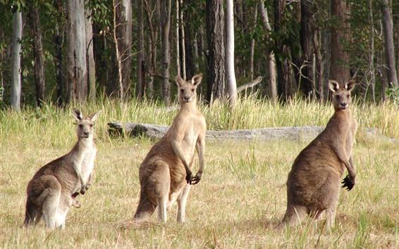 Wallpaper Three kangaroos, look, grass, trees