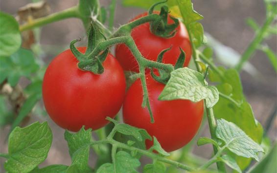 Papéis de Parede Três tomates, folhas verdes, vegetais