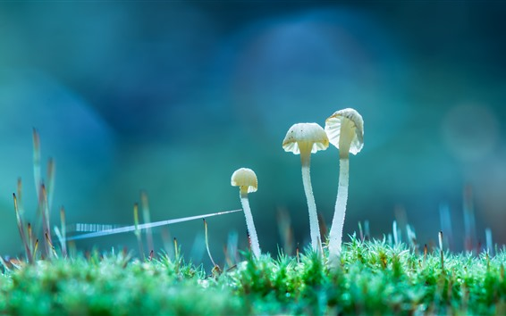 Papéis de Parede Três cogumelos brancos, grama, natureza