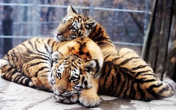 壁纸 两只可爱的老虎