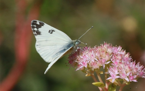Wallpaper White butterfly, insect, pink little flowers
