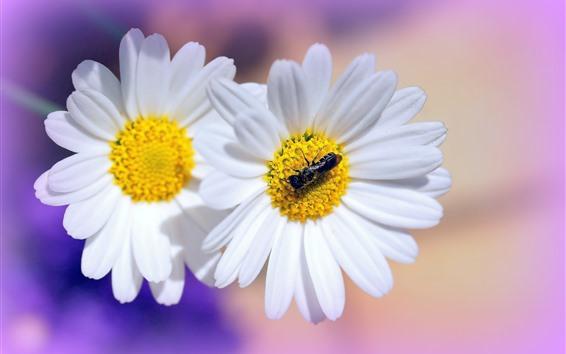 배경 화면 화이트 데이지, 꽃잎, 곤충