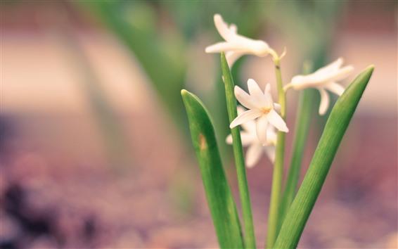 Обои Белые цветы, орхидея