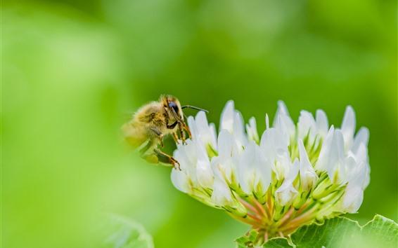 Papéis de Parede Flores brancas, pétalas, abelha, fundo verde