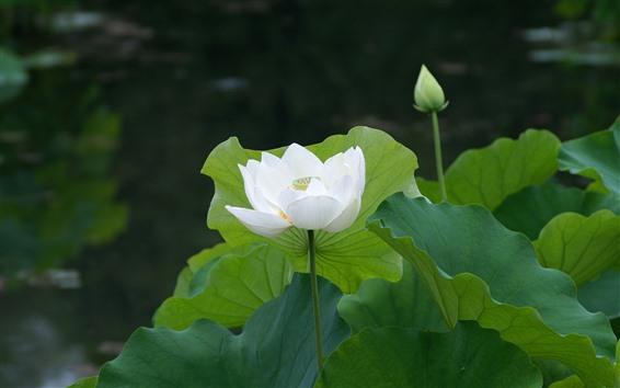 배경 화면 백 련 꽃, 녹색 단풍