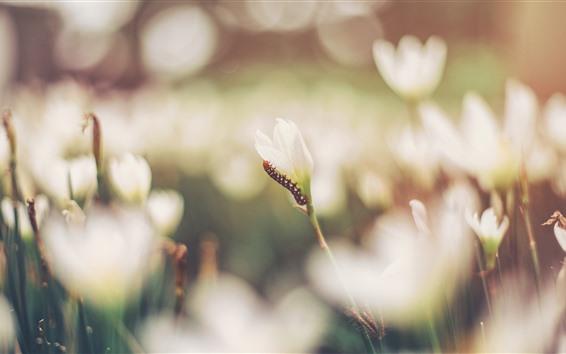 Обои Белые цветки орхидеи, гусеница