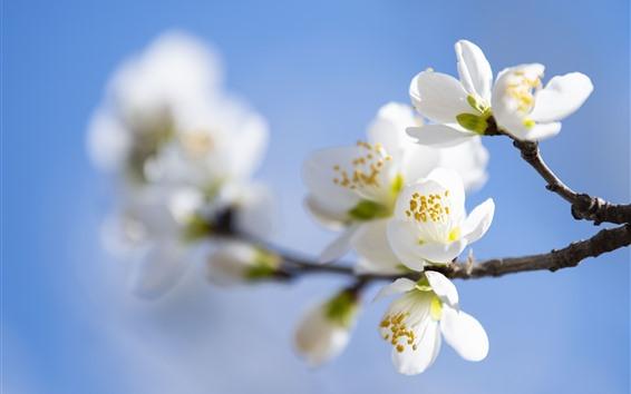 Обои Цветы белой сливы, веточки, дымка, весна