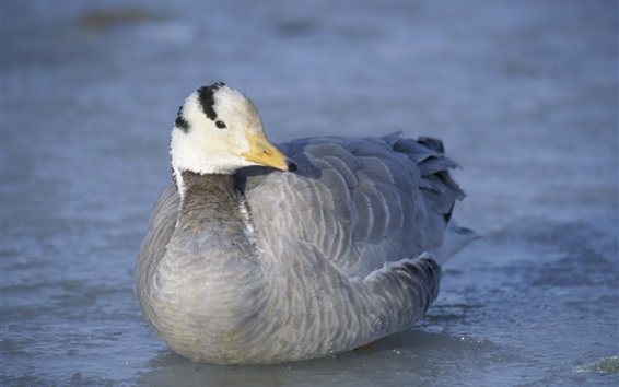 Fond d'écran Canard sauvage, plume grise, lac, eau