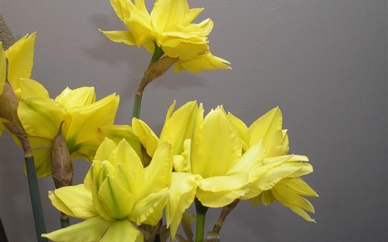 壁紙 黄色い水仙、花、花びら