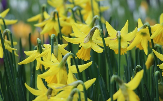 Wallpaper Yellow narcissus flowers, stems