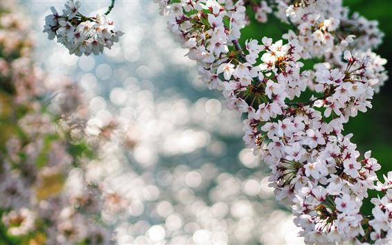 Papéis de Parede Lindas flores de sakura florescem, galhos, primavera, nebuloso