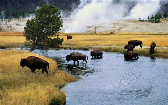Papéis de Parede Bisonte, árvores, grama, rio, vida selvagem