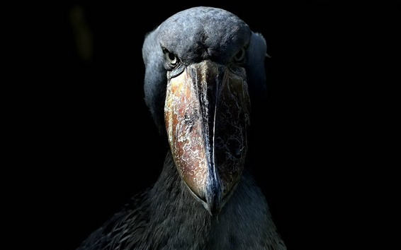 Papéis de Parede Pássaro preto, bico grande, olhos, escuridão