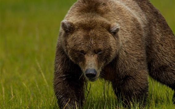 Papéis de Parede Urso pardo, grama, verde